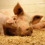nutricion porcina